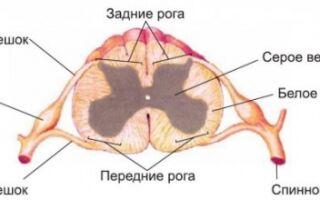 Как устроен человеческий спинной мозг: строение и функции, чем образовано серое вещество